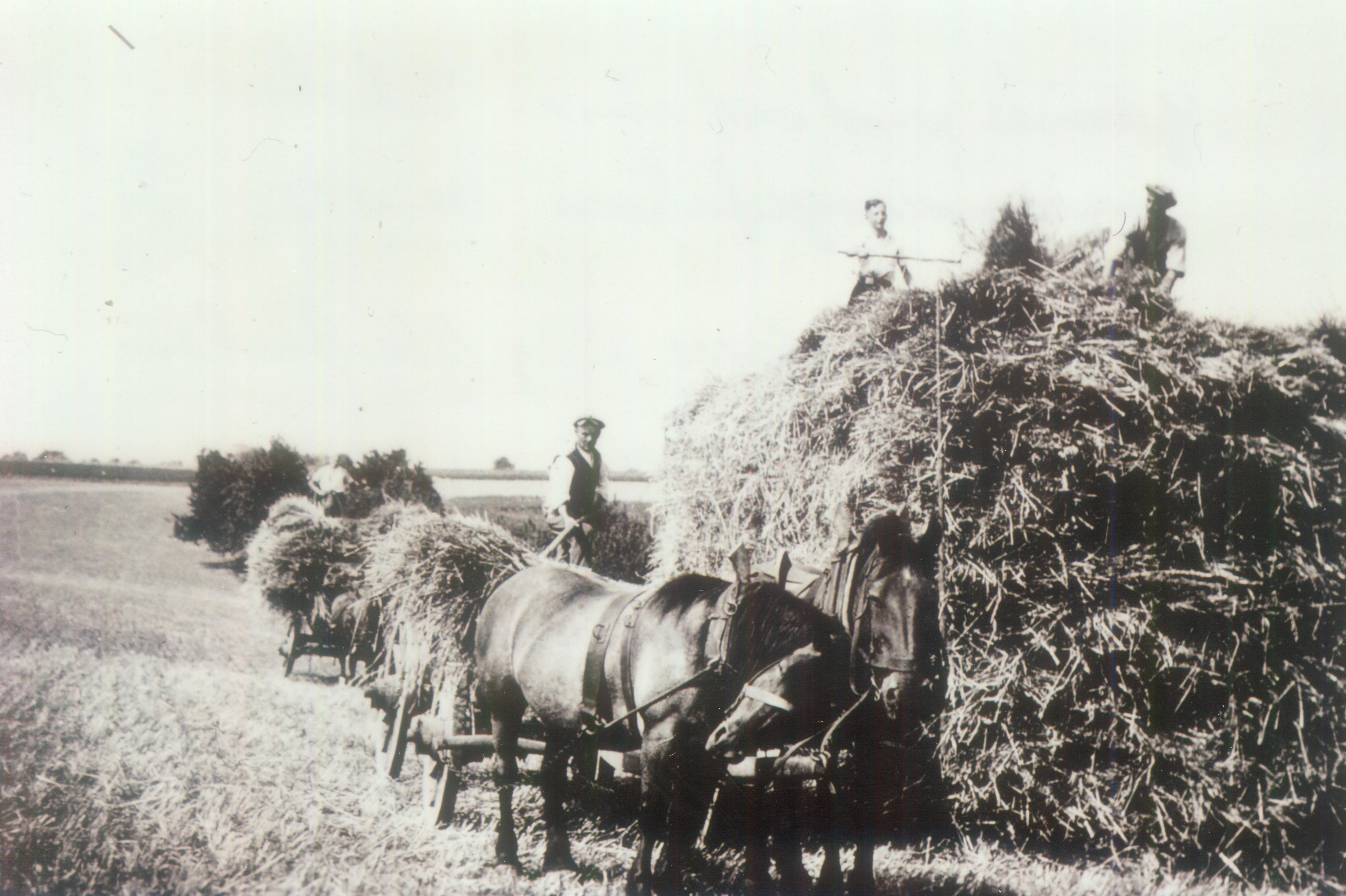 oberbachem adenauer002 Getreide wir auf einem Schober zusamnegefahren 1920